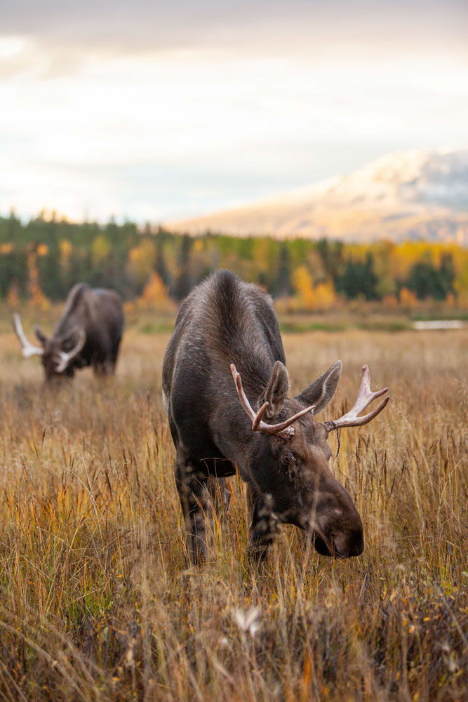 Photo of moose in fall colours.