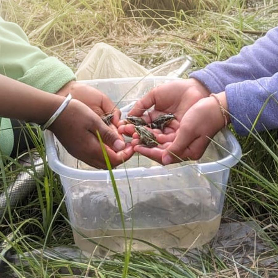 Photo of kids hands holding frogs over a bucket.
