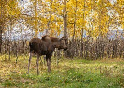Photo of moose.