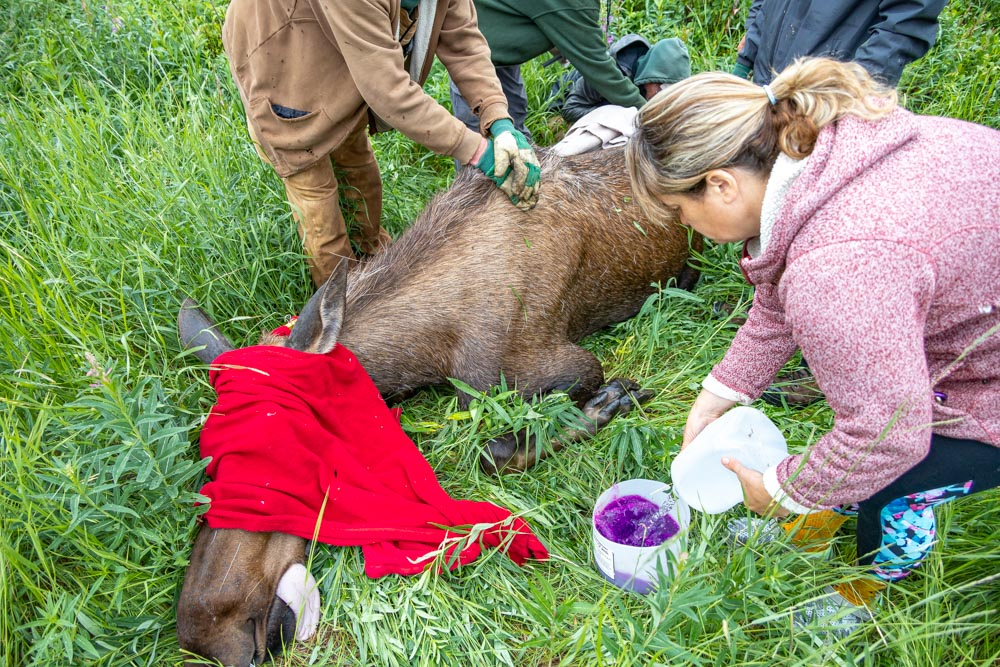 Photo of staff caring for moose hoof injury.