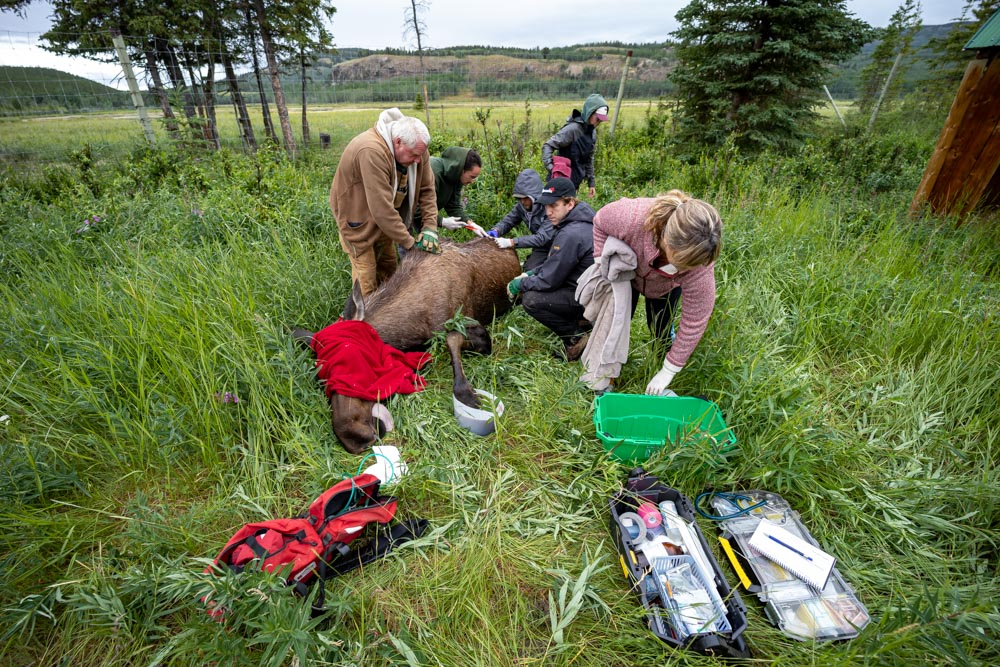Photo of team providing care for moose in the field.