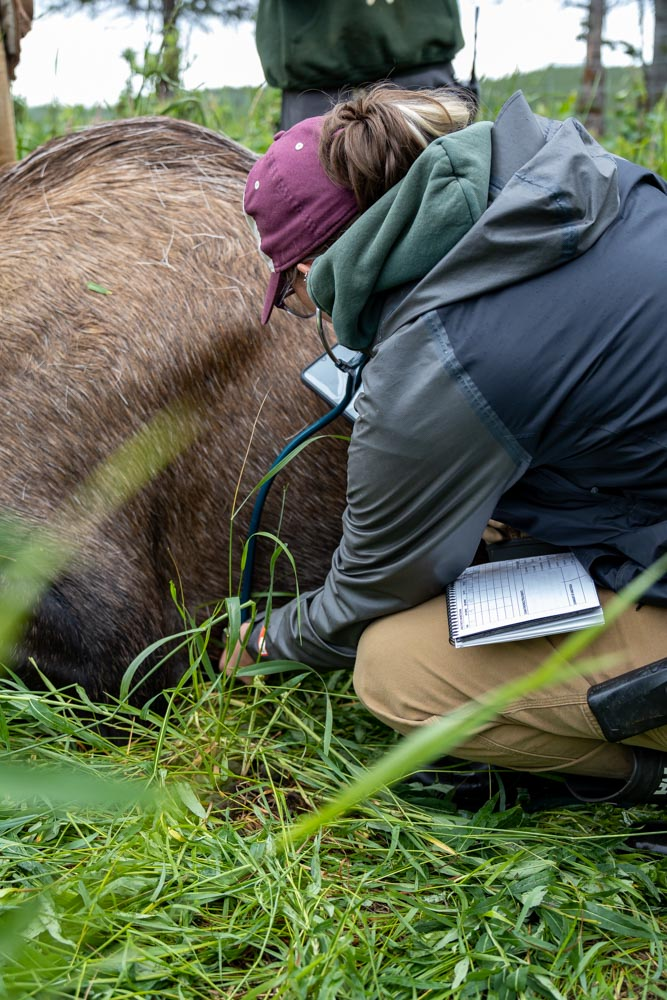 Photo of staff using stethoscope to listen to moose heart rate.