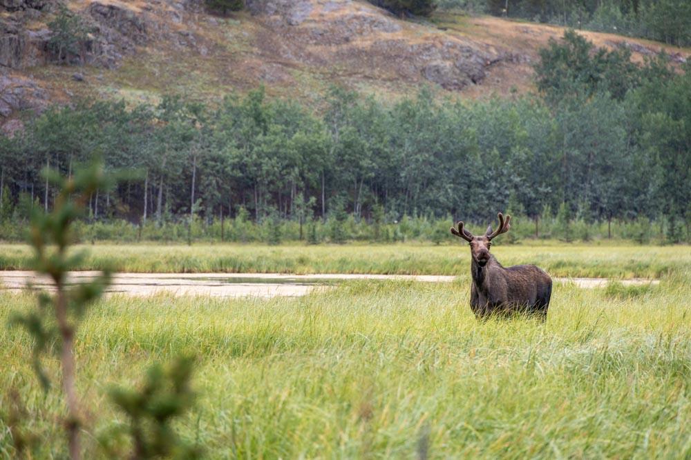 Photo of moose looking towards camera.