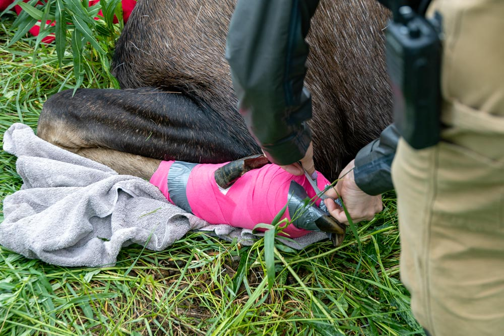 Photo of staff using duck tape to hold the bandage in place.