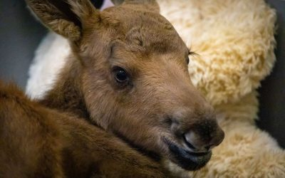 Hungry Hungry Hipp… Moose!